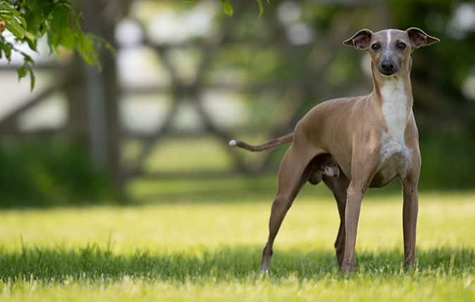Greyhound Leather Dog Collar
